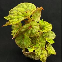 Begonia chlorosticta (Green Form)