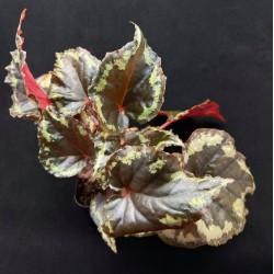 Begonia ignita (Large)