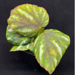 Begonia iridescens