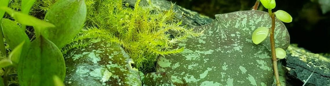 Other Epiphytes