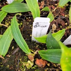 Hoya blashernaezii ssp. valmayoriana