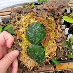 Hoya imbricata basi-subcordata Mount Double Leaf