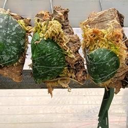 Hoya imbricata basi-subcordata Mount Single Leaf
