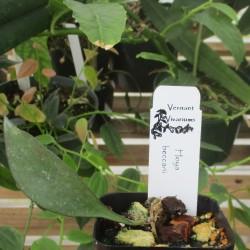 Hoya beccarii