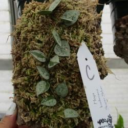 Hoya krohniana Super Silver C