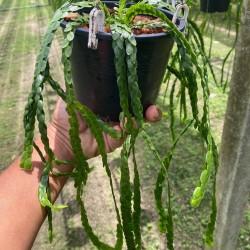 Huperzia nummulariifolia (Small)